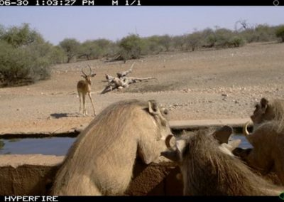 Warthogs drinking - Limpopo-Lipadi