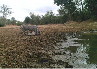 Warthogs suckling - Villiers Steyn - HWE
