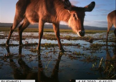 Water buck looking - Xander Combrink - KZNWildlife