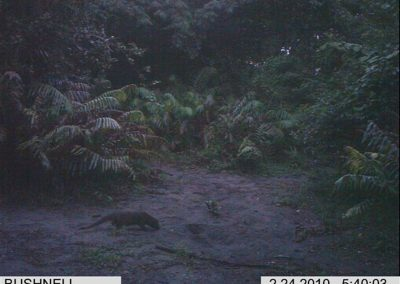 Water mongoose at croc nest3- Xander Combrink - KZNWildlife