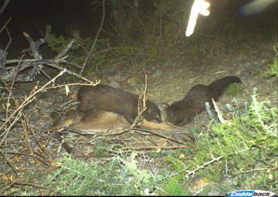 Water mongoose on kill3 - Matt Zylstra