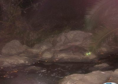 Water mongoose1 - CP - KZN