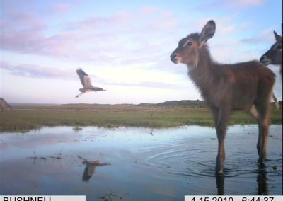 Waterbuck and heron - Xander Combrink - KZNWildlife