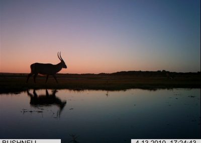 Waterbuck at sunset - Xander Combrink - KZNWildlife