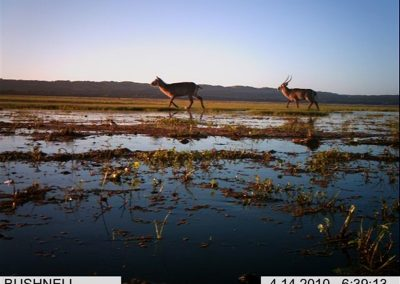 Waterbuck pair 2 - Xander Combrink - KZNWildlife