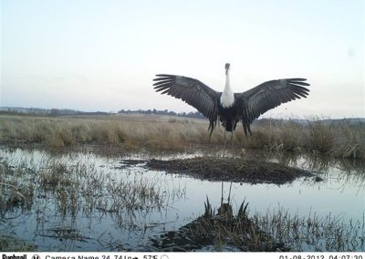 Wattled crane and chick - Cobus Theron - EWT