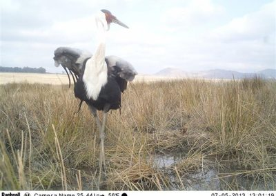 Wattled crane and chick3 - Cobus Theron - EWT