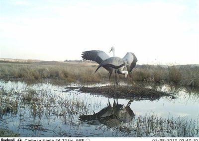 Wattled crane pair and chick - Cobus Theron - EWT