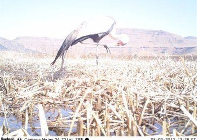 Wattled crane scratching - Cobus Theron - EWT