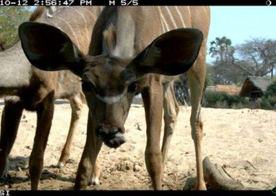 Weary kudu - Riaan Labuschagne
