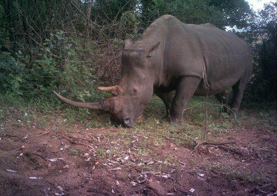 White rhino - Undisclosed RM