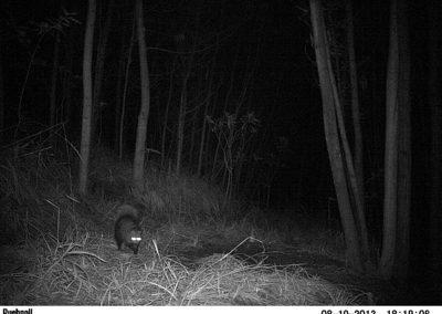 White tailed mongoose - Bruce Lesur