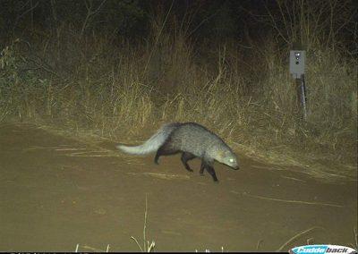 Whitetailed mongoose - Chris Kelly - Mkuze
