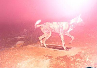 Wild dog - Wayne Kieswetter