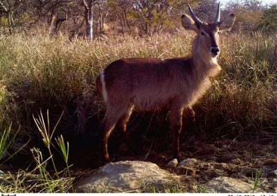 Young waterbuck pose - Lucy Hughes