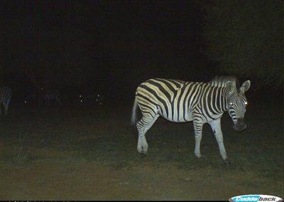 Zebra - Wicus du Preez