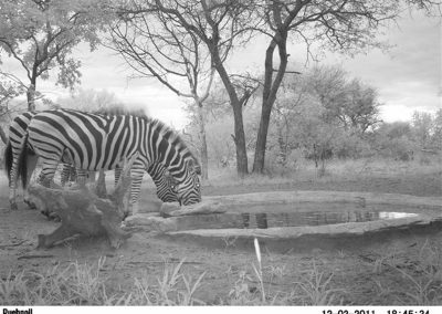Zebra drinking5 - Jacque Arnold