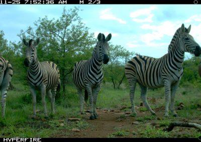 Zebra front - Limpopo Transfrontier Predator Project