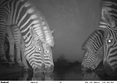 Zebra herd drinking2 - Peter Powell - Undisclosed