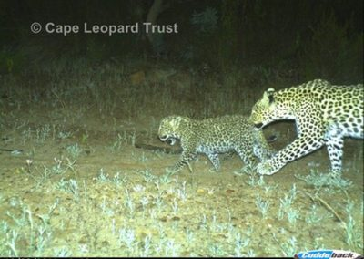 bf1 with cubs - Cape Leopard Trust