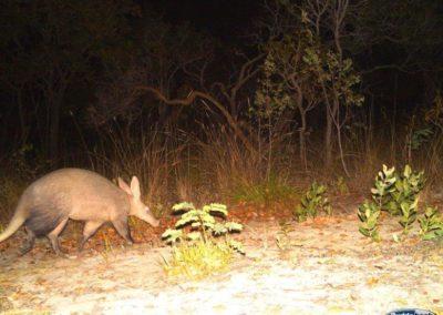 Aardvark - National Geographic - Okavango Wilderness Project