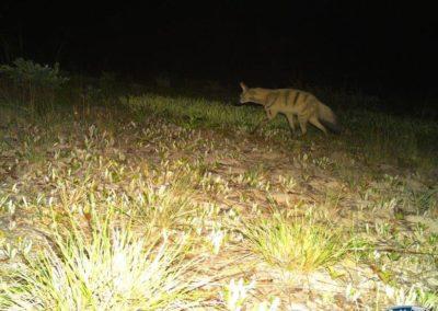 Aardwolf - National Geographic - Okavango Wilderness Project