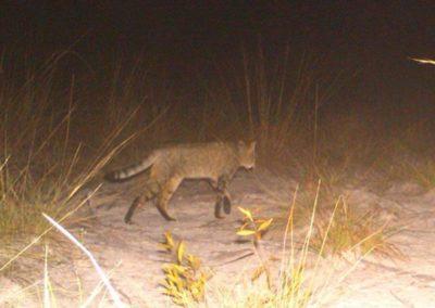 African Wild cat2 - National Geographic - Okavango Wilderness Project