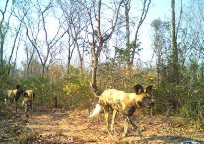 African Wild dog - National Geographic - Okavango Wilderness Project