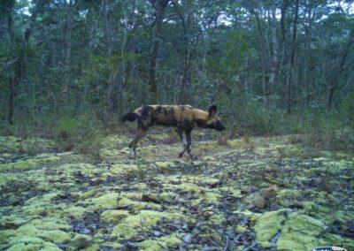 African Wild dog2 - National Geographic - Okavango Wilderness Project