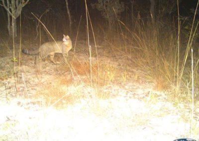 African wildcat3 - National Geographic - Okavango Wilderness Project