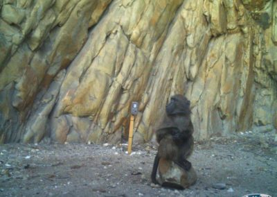 Baboon sentry - Rooi Els Conservancy