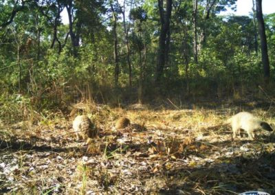 Banded mongoose - National Geographic - Okavango Wilderness Project