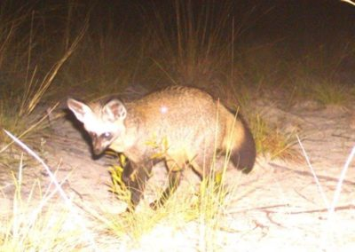 Bat eared fox - National Geographic - Okavango Wilderness Project