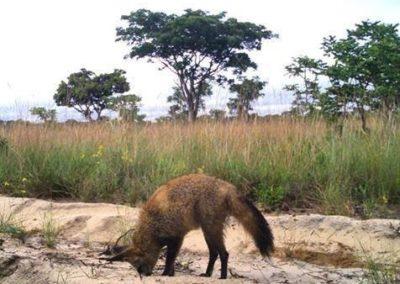 Bat eared fox2 - National Geographic - Okavango Wilderness Project