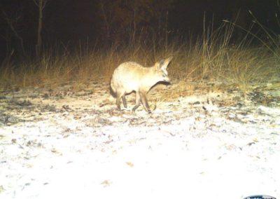 Bat eared fox3 - National Geographic - Okavango Wilderness Project