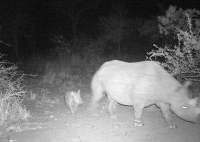 Black rhino cow and calf - WWF