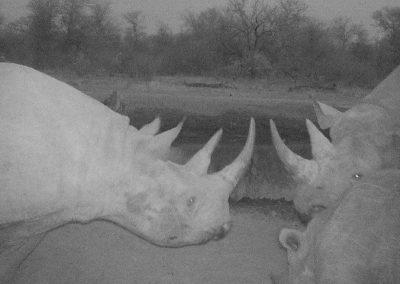 Black rhino gathering - WWF