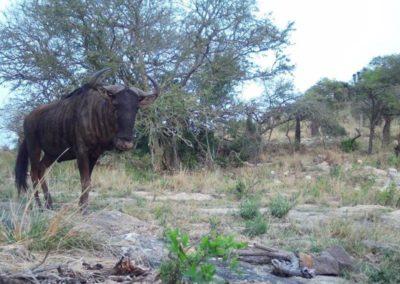 Blue wildebeest - Zulu Rock Game Ranch - KZN