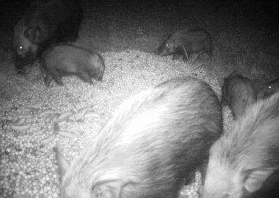 Bushpig group feeding - Mike Lang
