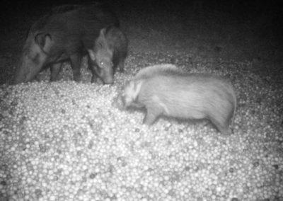 Bushpig group feeding - Mike Lang_1