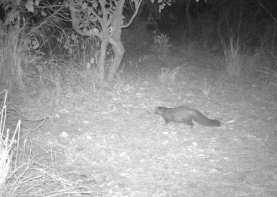 Bushy tailed mongoose - Luke Veen - Zambia