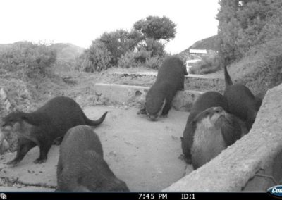 Cape clawless otter family raiding party - Rooi Els Conservancy
