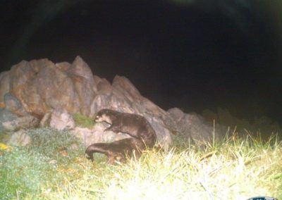 Cape clawless otter pair - Rooi Els Conservancy