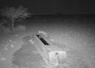 Cape fox - Cobus Horn