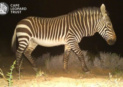 Cape mountain zebra_1 - Cape Leopard Trust