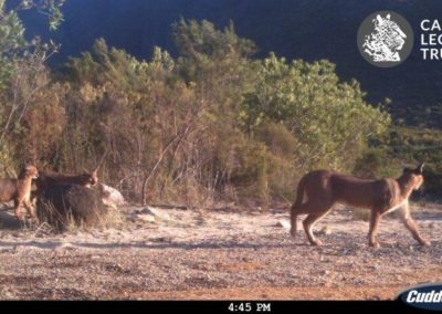 Caracal with kittens - Cape Leopard Trust