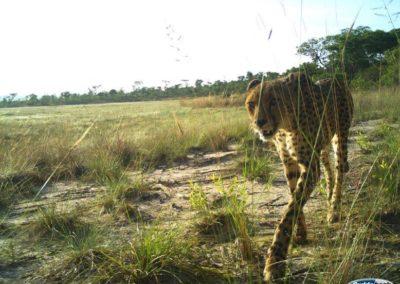 Cheetah - National Geographic - Okavango Wilderness Project