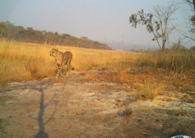 Cheetah2 - National Geographic - Okavango Wilderness Project