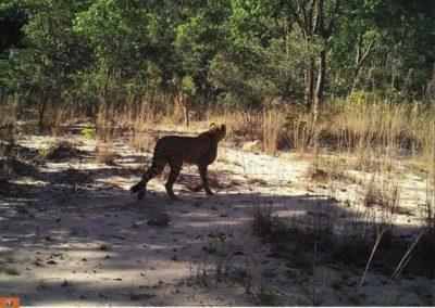 Cheetah3 - National Geographic - Okavango Wilderness Project