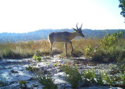 Common reedbuck - National Geographic - Okavango Wilderness Project